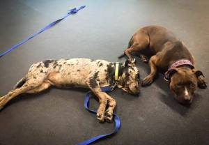 "Jasmine (right) helps ""little Jasmine"" (left) learn to relax around other dogs at Day Camp!"
